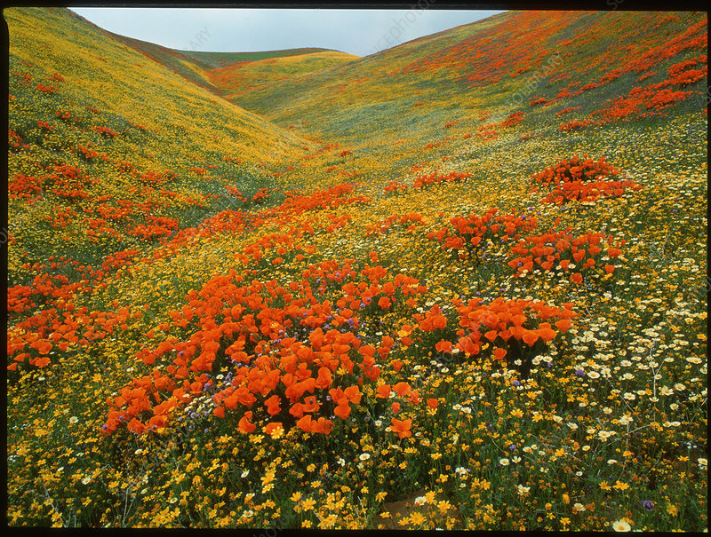 Field of California poppies and daisies