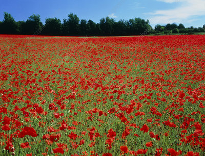 Flowering poppy field, Roussillon, France