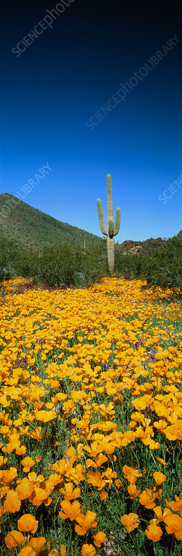 Gold poppies and Saguaro cactus