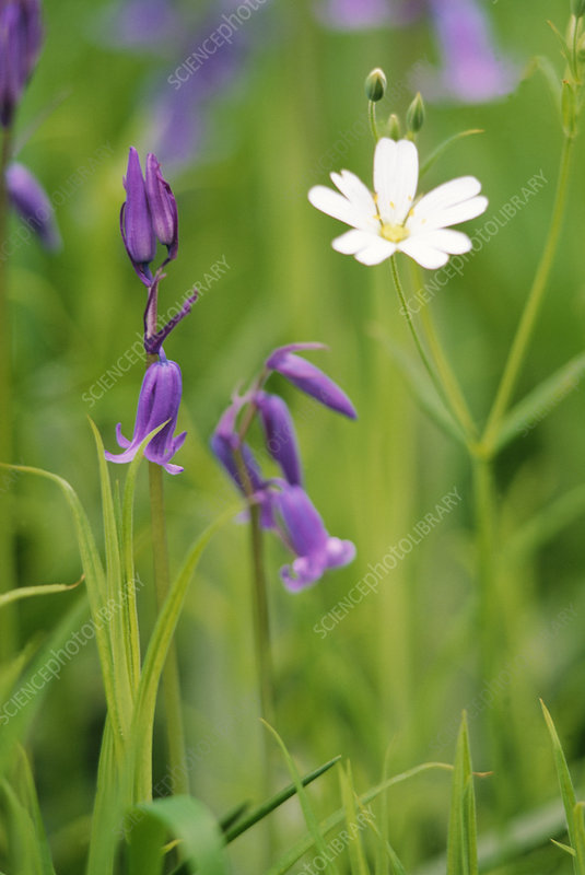 Bluebell and stitchwort