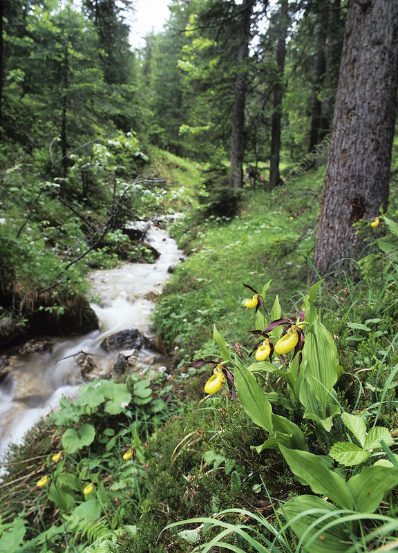 Orchids beside a woodland stream