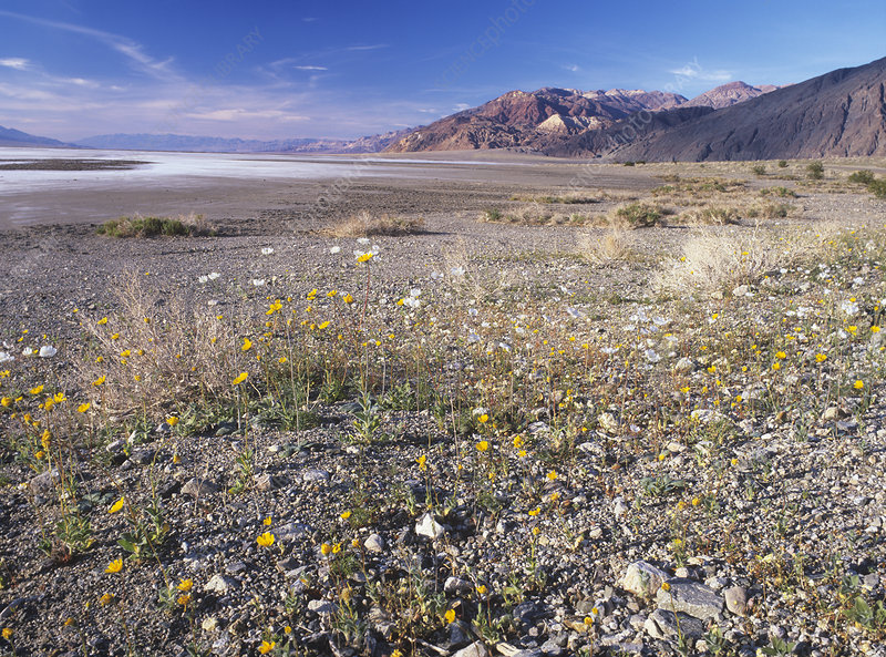 Gravel ghosts and desert gold poppies