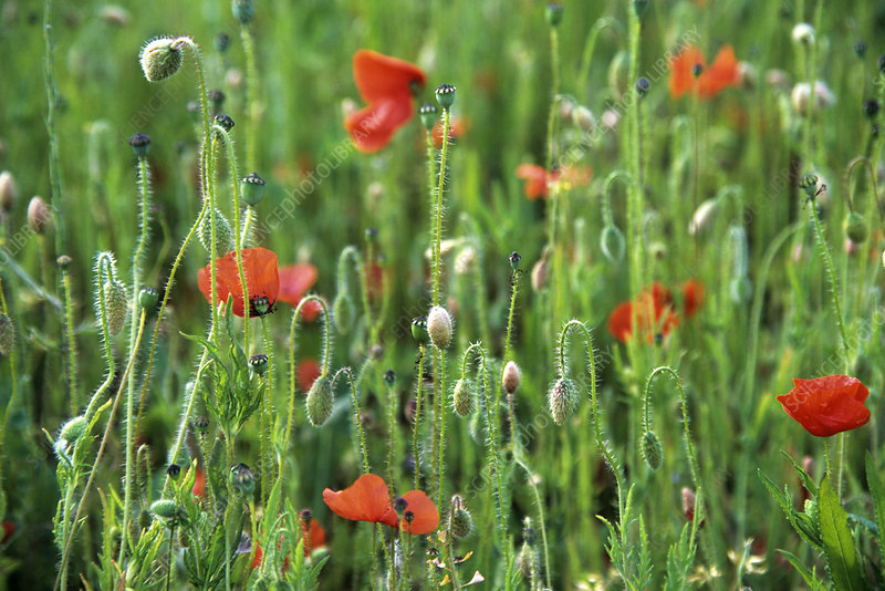 Poppy (Papaver sp.) flowers