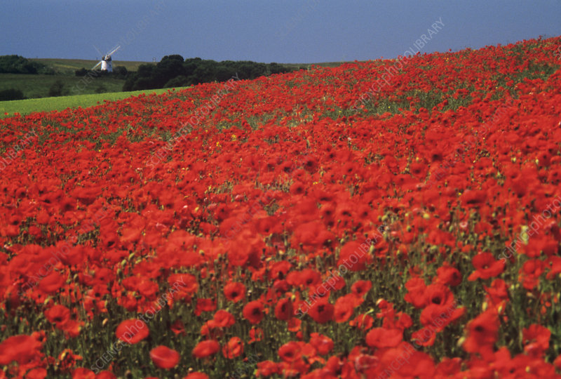 Field of poppies (Papaver rhoeas)