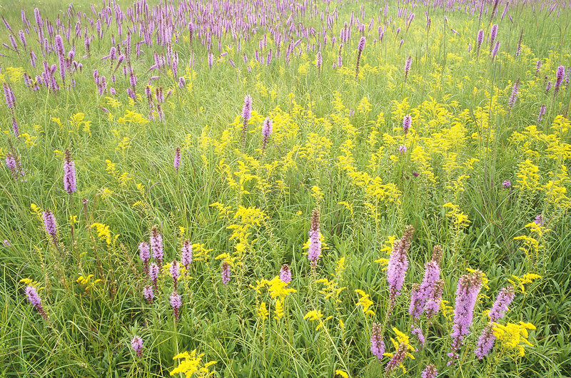 Blazing Star and Goldenrod in Prairie