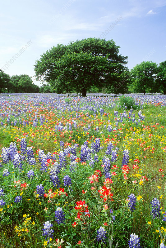 'Field of flowers, Texas'