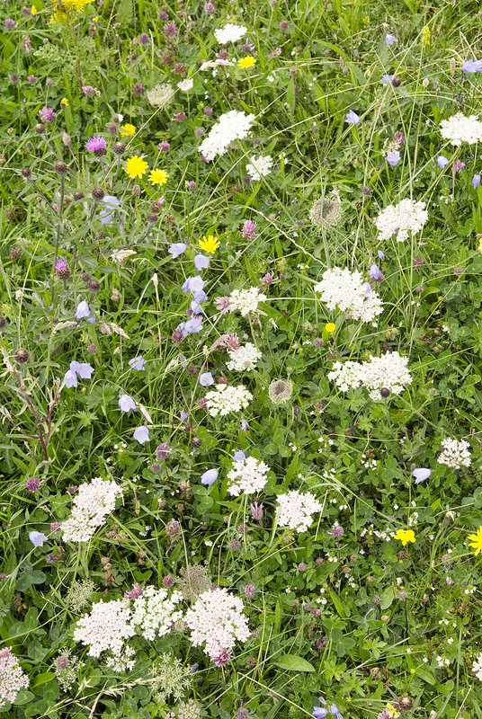 Machair wildflowers