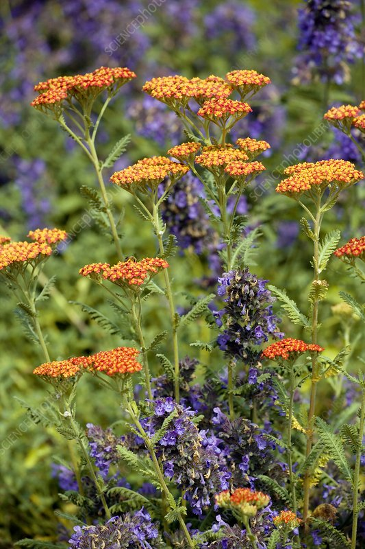 Yarrow and catmint flowers