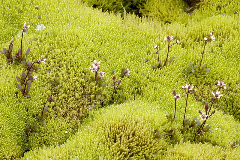 Starry saxifrage and swamp moss