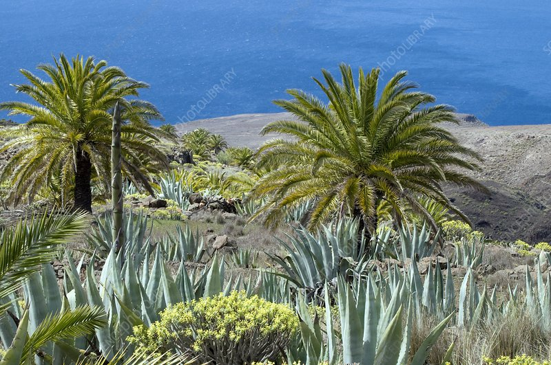 Canary palms, century plants and spurges
