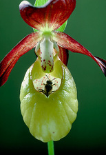 Orchid, Cypripedium, with bee pollinator