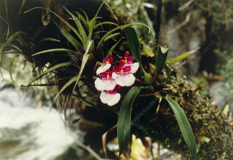 Cloud forest orchid