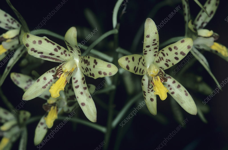 Tiger orchid flowers