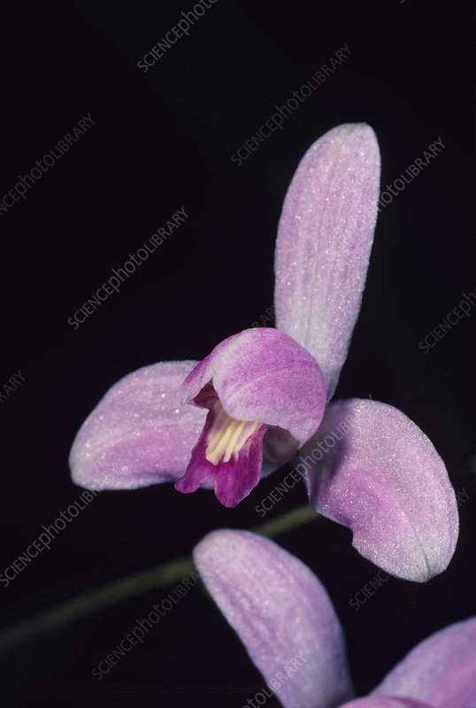 Pine-pink orchid flower