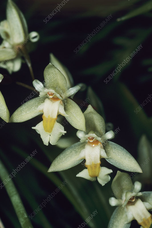 Orchid flowers