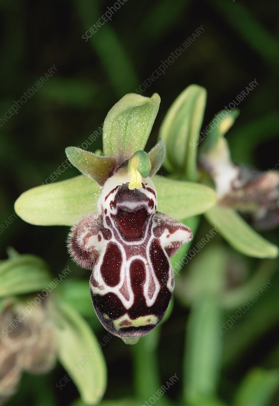 Kotschy's ophrys orchid flower