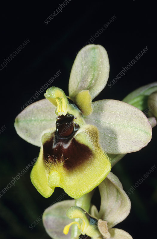 Sawfly orchid flower
