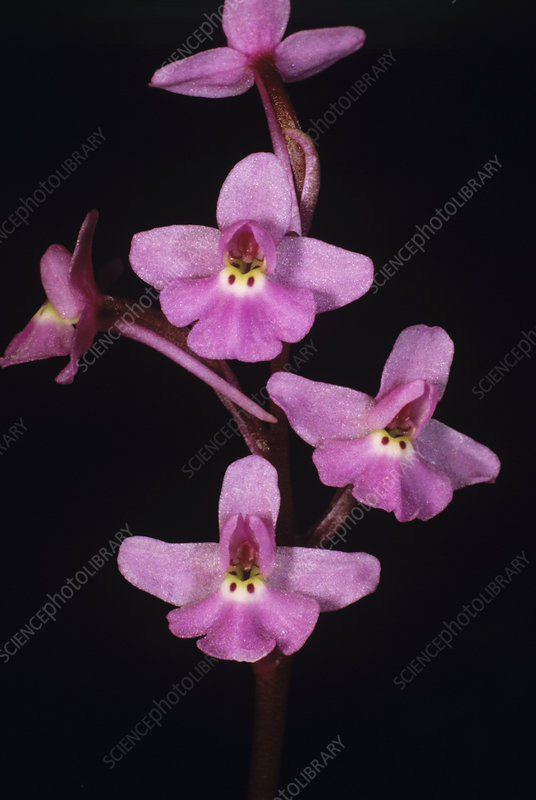 Four-spot orchid flowers