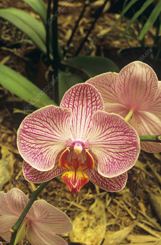 Moth orchid (Abrendrot x Phalaenopsis)