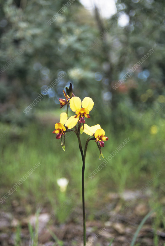 Donkey orchid flower