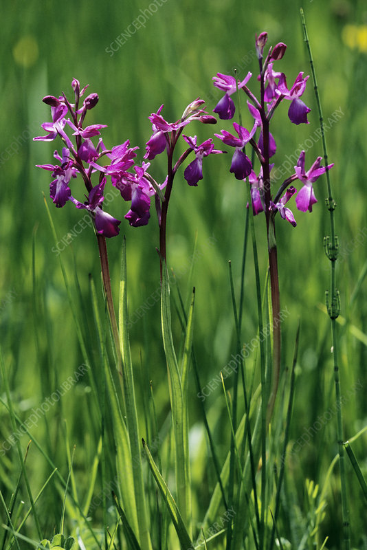 Loose-flowered orchids (Orchis laxiflora)