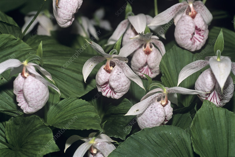 Slipper orchid flowers