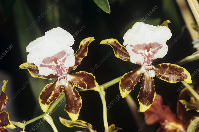 Cambria orchid flowers
