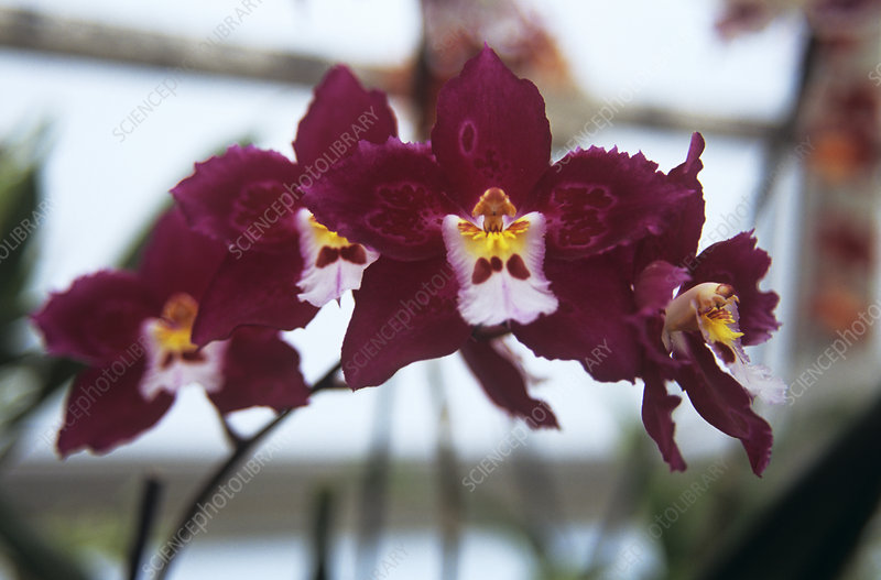 Orchid 'Joe's Drum'