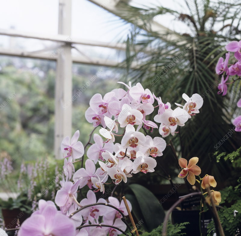 Orchids (Phalaenopsis sp.)
