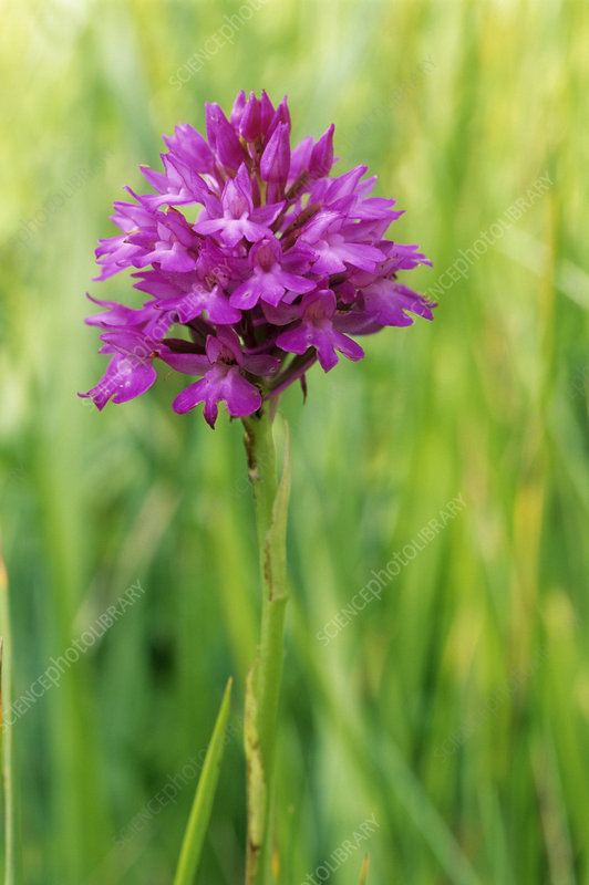 Pyramidal orchid flowers