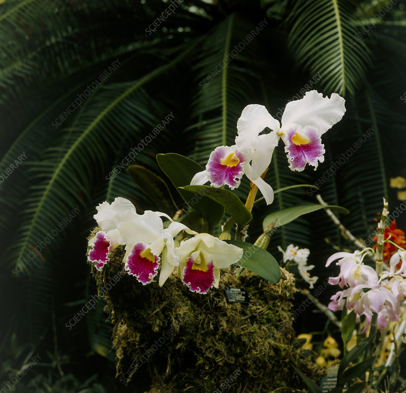 Orchid (Laeliocattleya 'Lily Poms)