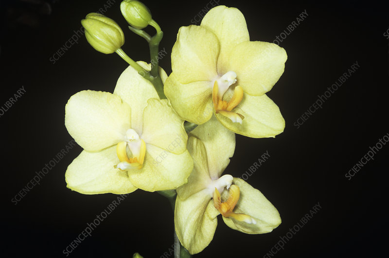 Orchid (Orchis phalaenopsis)
