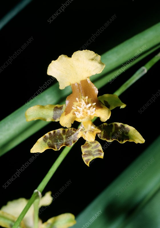Yellow orchid, Oncidium baueri