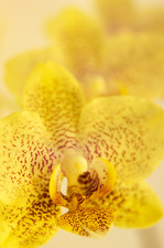 Yellow spotted phalaenopsis