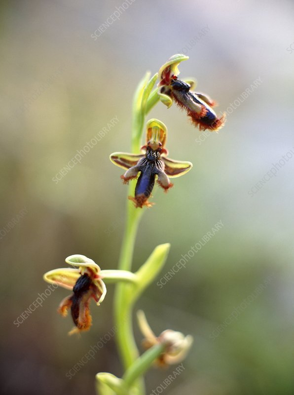 Bee orchid, Ophrys ciliata