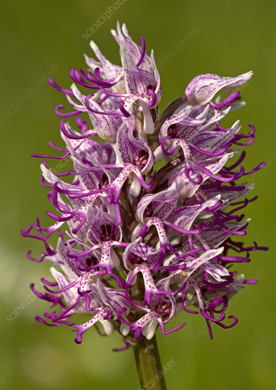 Monkey orchid (Orchis simia)