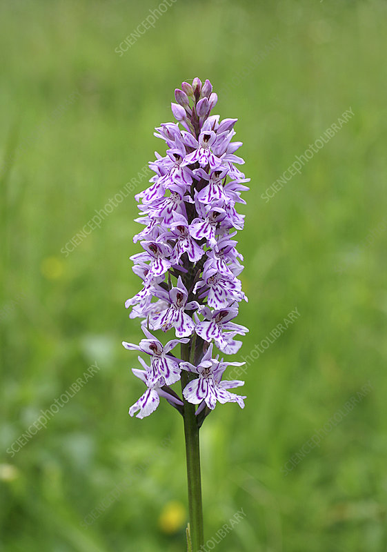 Common spotted orchid (Dactylorhiza sp.)