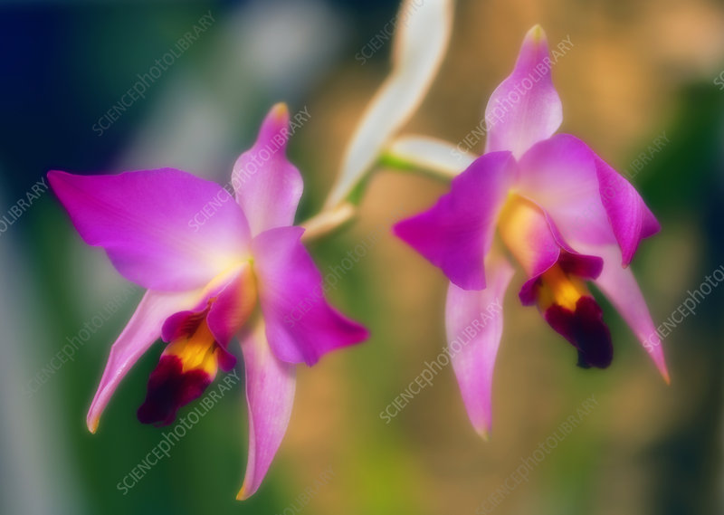 Orchid (Laelia anceps)