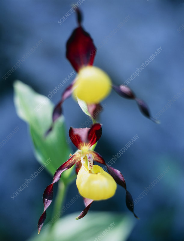 Slipper orchid (Cyprepedium calceolus)