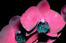 Moth orchid in UV light