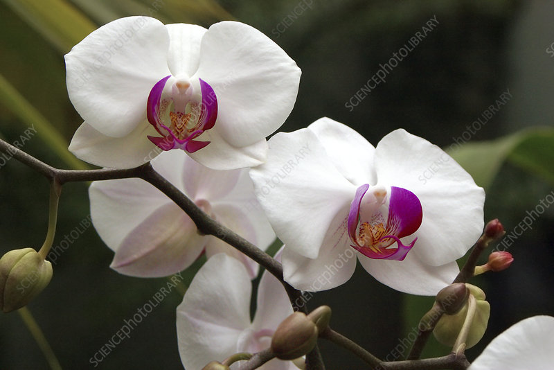 Phalaenopsis 'Happy Girl'