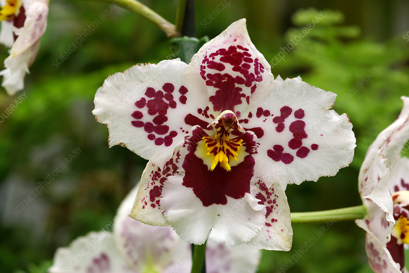 Orchids (Burrageara 'Nelly Isler')