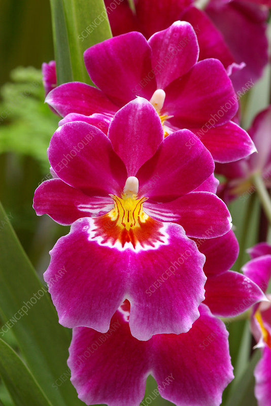 Pansy orchids (Miltoniopsis 'Red Tide')
