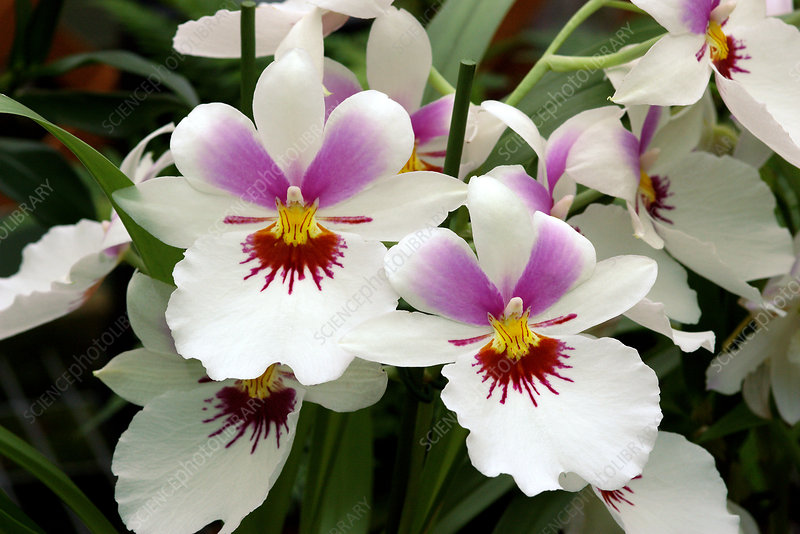 Pansy orchids (Miltoniopsis 'Twin Peaks')