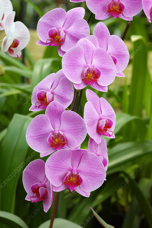 Orchids (Phalaenopsis 'Coral Harbour')