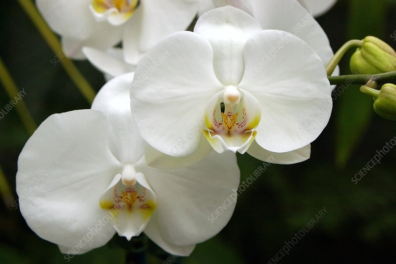Moth orchids (Phalaenopsis 'Promise')