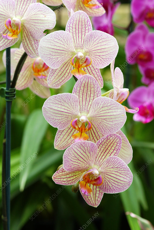 Moth orchids (Phalaenopsis 'Showpiece')
