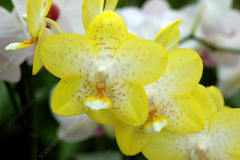Orchids (Phalaenopsis 'Yellowstone')
