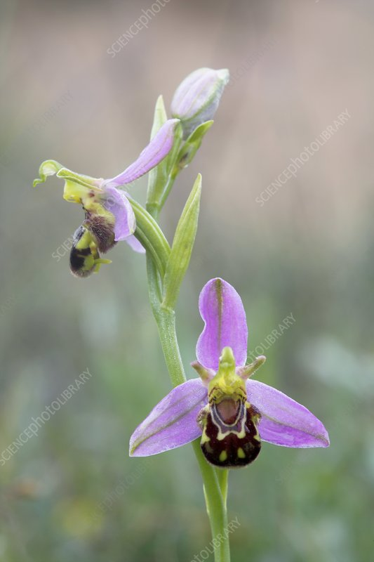 Bee orchid (Ophrys apifera)