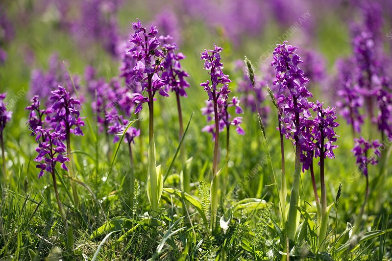 Early purple orchids (Orchis mascula)